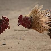 controversele luptelor de cocosi