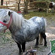 ponei grav bolnav la zoo timisoara din cauza snacks-urilor si pufuletilor