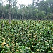 au legalizat marijuana
