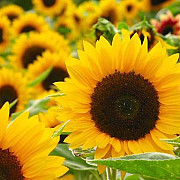 romania lider mondial la exportul de seminte de floarea soarelui