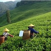 misterele ceaiului verde
