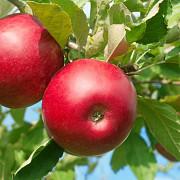 avantajele consumului de mere