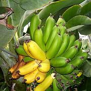 bananele te scapa de mahmureala