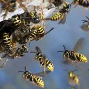 prahovean omorat de viespi