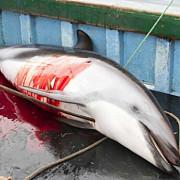 ancheta in peru privind uciderea a 15000 de delfini pe an