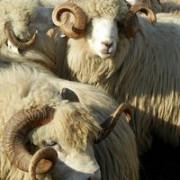 romania ar putea exporta oi in turcia