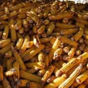 peste 1000 de tone de porumb infestate cu aflatoxina