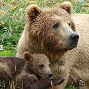 doua persoane atacate de o ursoaica in dambovita