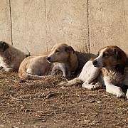 in ciuda adunarii cainilor comunitari numarul muscaturilor se mentine