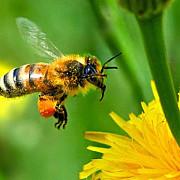 apicultorii avertizati rapita va fi stropita impotriva daunatorilor