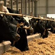subventii totale de 570 de milioane de lei pentru crescatorii de bovine