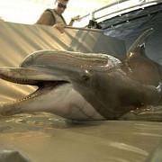 sua detaseaza delfini militari in marea neagra sub comanda nato
