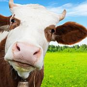 ansvsa 198 de animale afectate de boala limbii albastre in sase judete