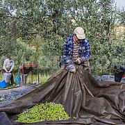 pretul uleiului de masline a explodat din cauza recoltei slabe mafia italiana profita