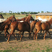 herghelia mangalia vinde cai arabi pur sange la un pret de zece ori mai mic decat in occident