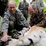 tigrul eliberat in salbaticie de vladimir putin s-a intors acasa