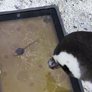 pinguini pasionati de jocuri pe ipad