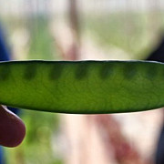 caviarul vegetal mazarea care se vinde cu 700 de dolari kilogramul