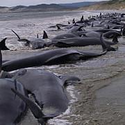 noua zeelanda 39 de balene au murit dupa ce au esuat pe o plaja