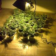 ofiterii bcco ploiesti au descoperit o cultura de cannabis