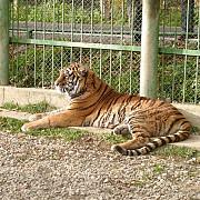 constructia adapostului pentru doua feline la zoo bucov mai are de asteptat