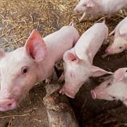 elvetia interzice importul de porci din mai multe tari europene inclusiv din romania
