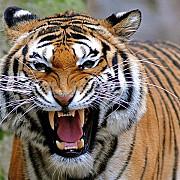 doar 3200 de tigri mai traiesc in salbaticie