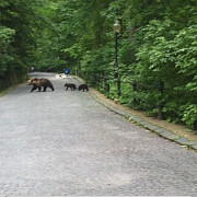 ursi in vizita la peles