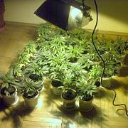 bcco ploiesti perchezitii la traficantii de cannabis