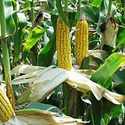 franta interzice cultivarea de porumb modificat genetic mon 810