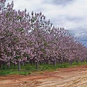 paulownia copacul minune care aduce castiguri uriase