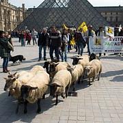 protestul fermierilor din franta cu oile la muzeul luvru