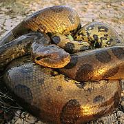 se va lasa inghitit de viu de o anaconda