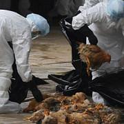 alerta de gripa aviara se fac controale la fermele din romania