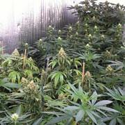 patru persoane suspectate ca au cultivat si comercializat canabis au fost retinute