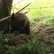 un urs a ramas prins in gard in apropierea unei scoli