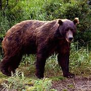 interventie pentru eliberarea unui urs ramas blocat in gardul unei gradini in dambovita
