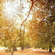 orasul care a interzis maslinii mii de copaci vor fi smulsi din radacina