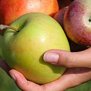 din noiembrie elevii prahoveni ar putea beneficia si de mere