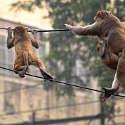 un oras turistic a ramas fara internet din cauza maimutelor