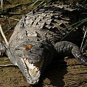 pasiuni ciudate un barbat din toronto a crescut 150 de crocodilii si aligatori in casa