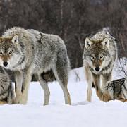 11000 de norvegieni vaneaza 16 lupi
