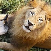 noua oferta a gradinii zoologice din londra cabane pentru a dormi in mijlocul leilor