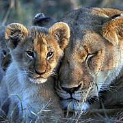 bibi leoaica din documentarul bbc big cat diary a fost otravita