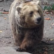 ursul ploiestean va fi relocat cel mai probabil la zarnesti