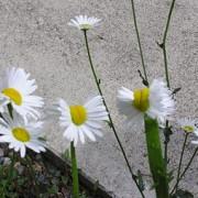 efecte ale dezastrului nuclear la fukushima au inflorit margarete mutante