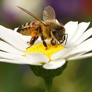apocalipsa albinelor se pregatesc microcipuri care iau urma polenizarii