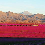 a inflorit desertul fenomen incredibil in cel mai secetos loc de pe pamant