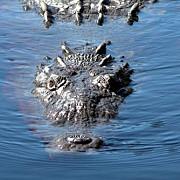 crocodili flamanzi pe post de paznici la inchisorile din indonezia