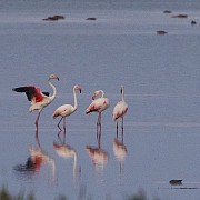 aparitie rara in romania patru pasari flamingo au fost observate pe teritoriul tarii